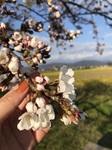 桜と菜の花.jpg
